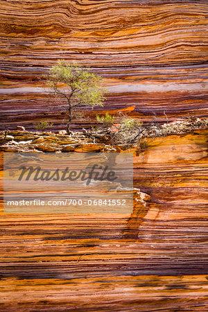 Detail of Tree and Rock Wall, The Loop, Kalbarri National Park, Western Australia, Australia