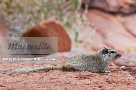Dassie rat (Petromus typicus), Damaraland, Kunene Region, Namibia, Africa