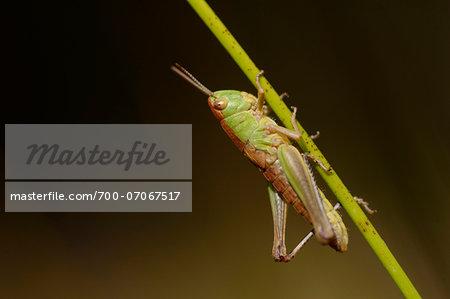 Close-up of Slant-faced Grasshopper (Gomphocerinae) on Blade of Grass, Bavarai