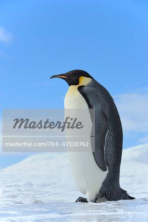 Emperor Penguin (Aptenodytes forsteri) Standing in Ice Landscape, Snow Hill Island, Antarctic Peninsula, Antarctica