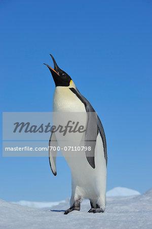 Adult Emperor Penguin (Aptenodytes forsteri) Calling, Snow Hill Island, Antarctic Peninsula, Antarctica