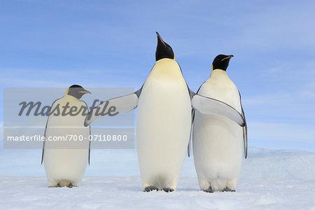 Three Adult Emperor Penguins (Aptenodytes forsteri), Snow Hill Island, Antarctic Peninsula, Antarctica