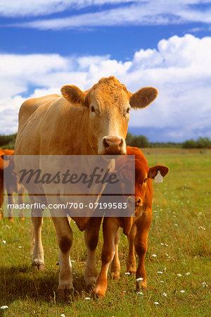 Portrait of a Cow and Calf Peace River, Alberta, Canada