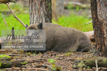 Wild Boar (Sus scrofa) in Summer, Germany