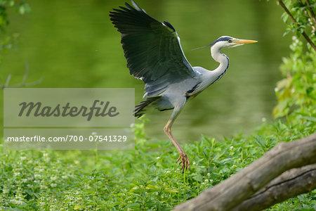 Landing Grey Heron (Ardea cinerea) in Spring, Bavaria, Germany
