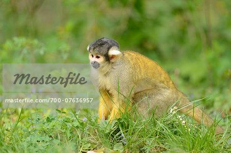 Close-up of Common Squirrel Monkey (Saimiri sciureus) in Meadow in Spring, Bavaria, Germany