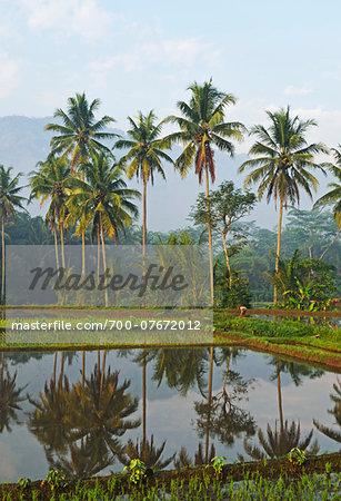 Rice field, near Borobodur, Kedu Plain, Java, Indonesia, Asia