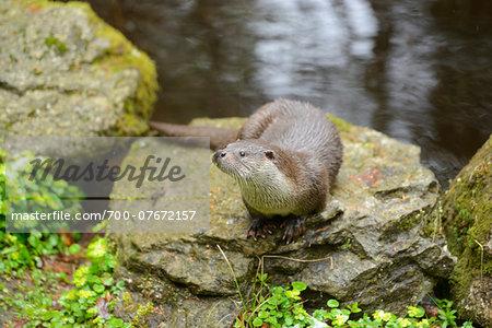 European Otter (Lutra lutra) on Rock in Spring, Bavarian Forest National Park, Bavaria, Germany