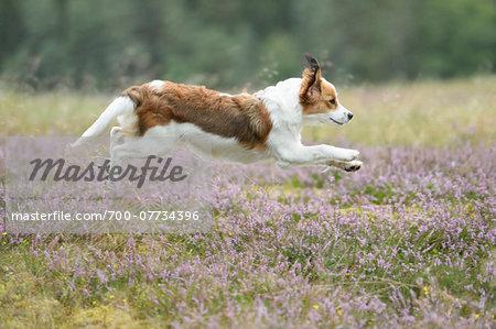 Kooikerhondje jumping in mid-air in an erica meadow in summer, Upper Palatinate, Bavaria, Germany