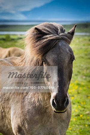 Close-up portrait of Icelandic horse at Hofn, Iceland