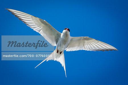 Close-up of Arctic tern, seabird at Jokulsarlon Lagoon, Jokulsarlon, Iceland