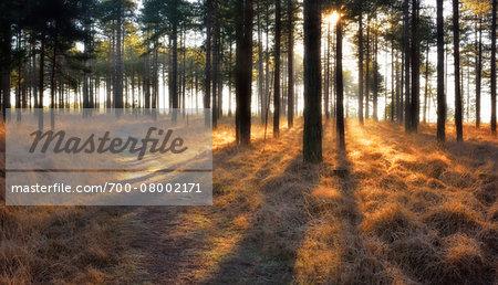 Path through a pine forest at sunrise, Wareham Forest, Dorset, England