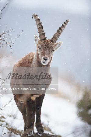 Close-up of an Alpine ibex (Capra ibex) in the Alps of Austria in winter, Styria, Austria
