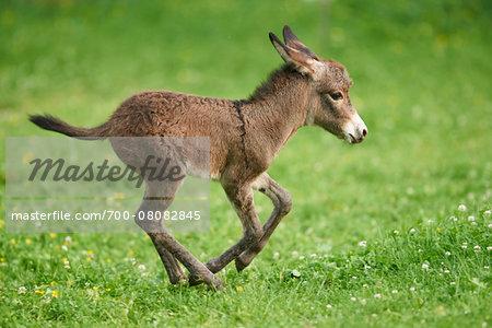 Portrait of One Week Old Donkey (Equus africanus asinus) Foal on Meadow in Summer, Upper Palatinate, Bavaria, Germany