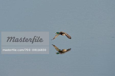 Portrait of Flying Mallard Duck in Spring, Franconia, Bavaria, Germany