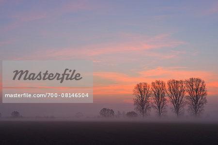 Row of Cottonwood Trees at Sunrise, Harpertshausen, Dieburg, Darmstadt-Dieburg-District, Hesse, Germany