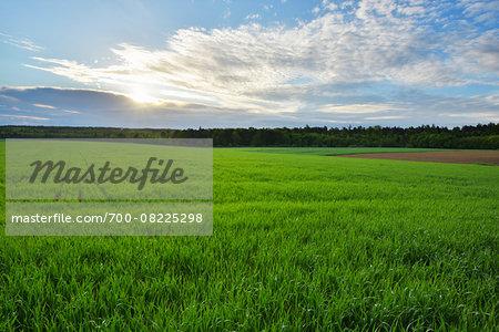 Countryside with Grain Field in Spring, Wallduern, Neckar-Odenwald-District, Odenwald, Baden Wurttemberg, Germany