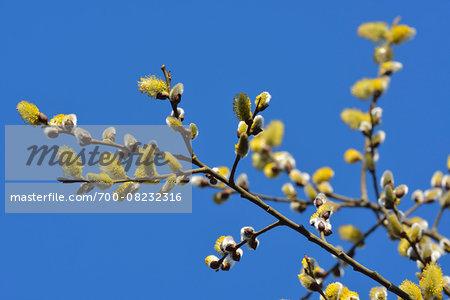 Flowering Goat Willow (Salix caprea) in Spring, Kleinheubach, Churfranken, Spessart, Bavaria, Germany
