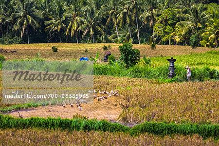 Ducks in Rice Field, Petulu near Ubud, Bali, Indonesia