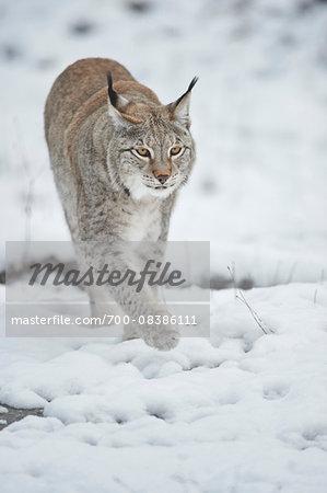 Close-up of a Eurasian lynx (Lynx lynx) walking on a snowy winter day, Bavaria, Germany