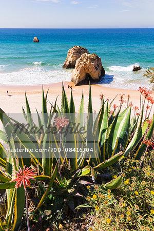Agave Plants and Blooming Aloe Plants, Praia da Rocha, Algarve, Portugal