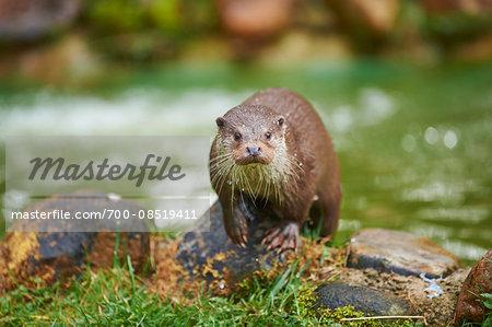 Portrait of Eurasian River Otter (Lutra lutra) in Spring, Wildpark Schwarze Berge, Lower Saxony, Germany