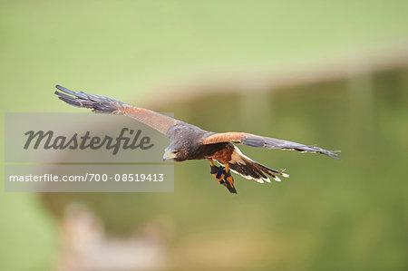 Close-up of Harris's Hawk (Parabuteo unicinctus) in Flight in Spring, Wildpark Schwarze Berge, Lower Sazony, Germany