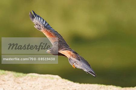 Portrait of Harris's Hawk (Parabuteo unicinctus) in Flight in Spring, Wildpark Schwarze Berge, Lower Saxony, Germany