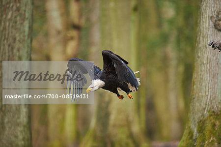 Portrait of Bald Eagle (Haliaeetus leucocephalus) in Flight in Spring, Wildpark Schwarze Berge, Lower Saxony, Germany