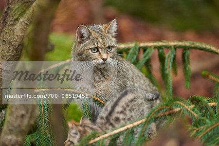 Portrait of European Wildcat (Felis silvestris silvestris) in Bavarian Forest in Spring, Bavaria, Germany