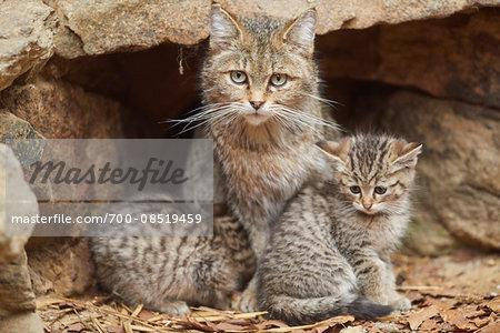 Portrait of European Wildcat (Felis silvestris silvestris) Mother with Kitten in Bavarian Forest in Spring, Bavaria, Germany
