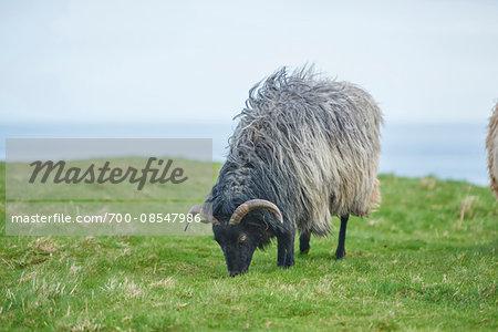 Portrait of Heidschnucke Sheep (Ovis orientalis aries) in Spring on Helgoland, Germany