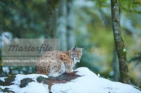 Portrait of Eurasian Lynx (lynx lynx) in Spring on Snowy Morning in Bavarian Forest, Bavaria, Germany
