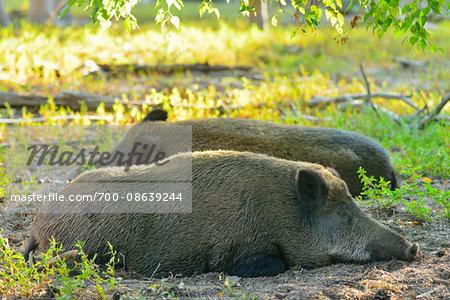 Portrait of Wild Boar (Sus scrofa) Sows Lying Down, Hesse, Germany
