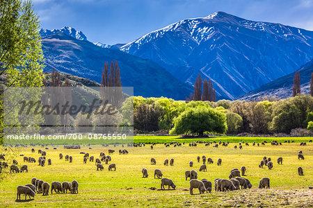 Sheep grazing in pasture on farmland near Wanaka in the Otago Region of New Zealand