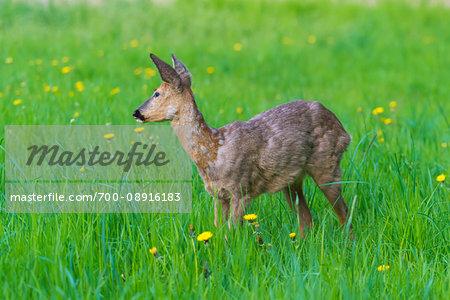 Profile of roe deer (Capreolus capreolus) standing in grassy field in spring, Germany