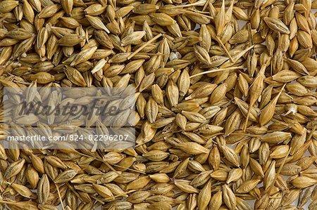 Barley grains , used for animal feed