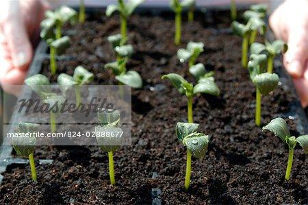 Cucumber Seedlings - Market More (Outdoor Variety)