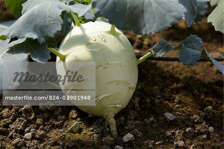 Turnip cabbage / Kohlrabi