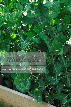 Pea Flowers Fertilised on the Allotment