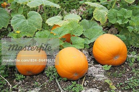 Pumpkins growing in allotment gardens
