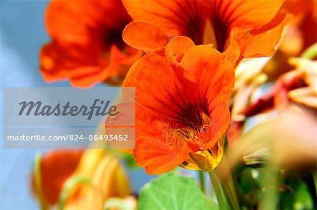 Nasturtium flower in summer sun