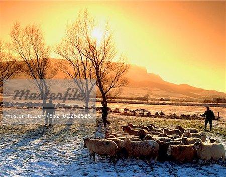 Sheep Herding, Magilligan, Co Derry, Ireland