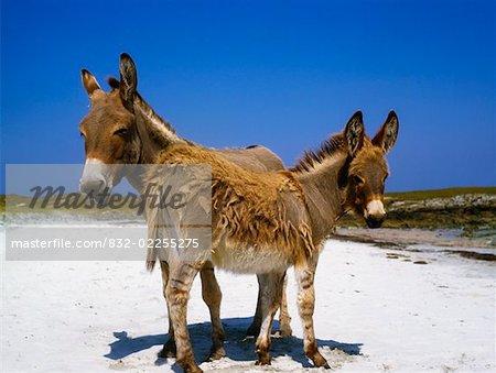 Mannin Bay, County Galway, Ireland; Donkeys on beach