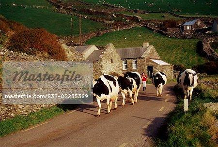 Dingle Peninsula, County Kerry, Ireland; Herding cattle