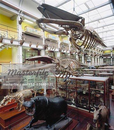 National Museum Of Ireland, Dublin, Co Dublin, Ireland; Skeletons Of Animals