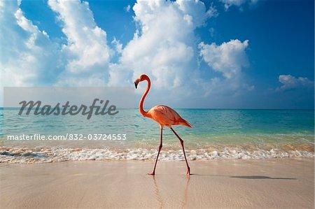 Flamingo walking along beach