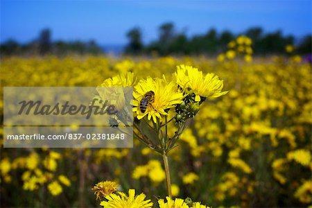 Close-up of Sunflowers (Helianthus annuus)
