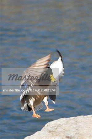 Close Up Of A Mallard Duck Flying Central Park Manhattan New York