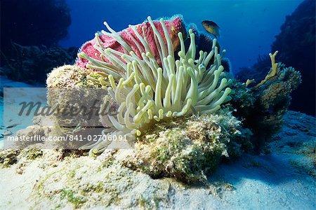 Sea anenome, Caribbean Sea, Central America